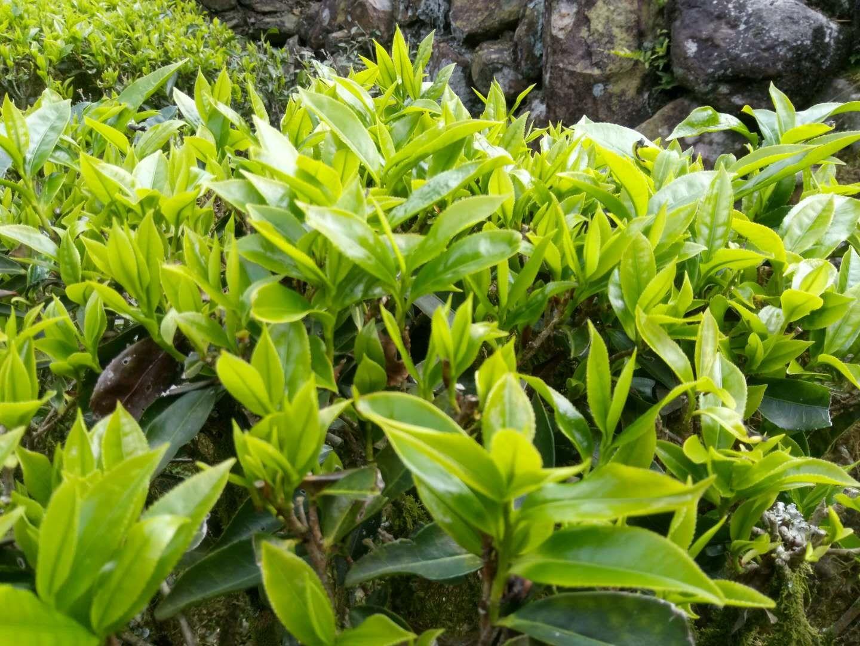 泡一杯明前的绿茶,留住春天的味道!(图2)